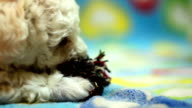 Puppy playing with a rope video