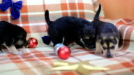 Puppy playing with Christmas decorations video