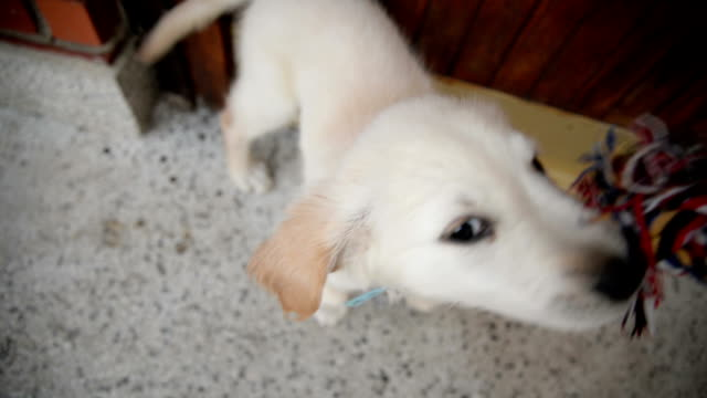 Puppy playing with toy video