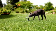 Puppy plays with the water sprinkler video