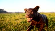 SLO MO Puppy running in grass video