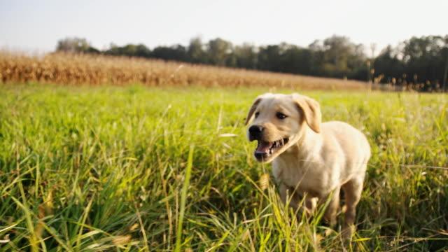 SLO MO Puppy Running In High Grass video