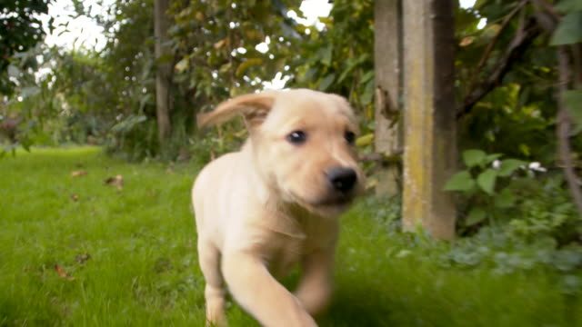 SLO MO Puppy Running In The Backyard video