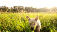SLO MO Puppy Running In The Grass video
