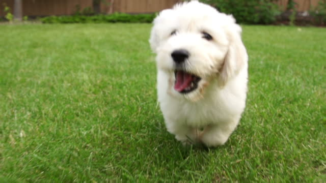 Puppy running with Joy video