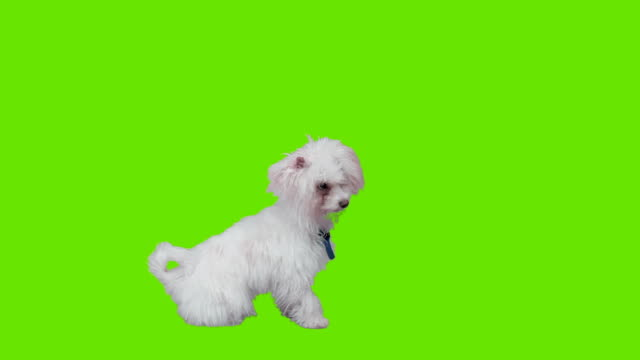 Puppy sitting infront of green screen video