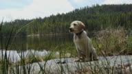 Puppy sitting next to mountain lake video