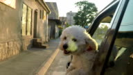 Puppy sticking head out of a moving car video