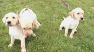 Puppy Walk video