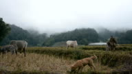 puppy with buffalo in rice terraces field in Mae Klang Luang , Mae Chaem, Chiang Mai, Thailand video