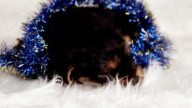 puppy Yorkshire terrier in studio close-up video