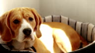 Purebred Beagle lying on sofa in the morning sun rays video