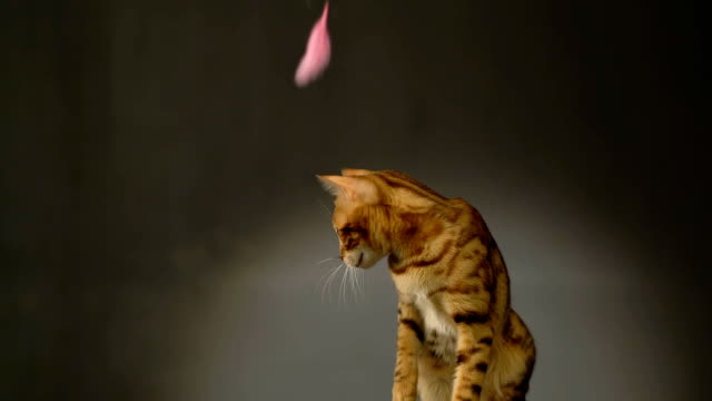 Purebred Bengal Cat Catches Feather video