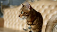 Purebred Bengal Cat video