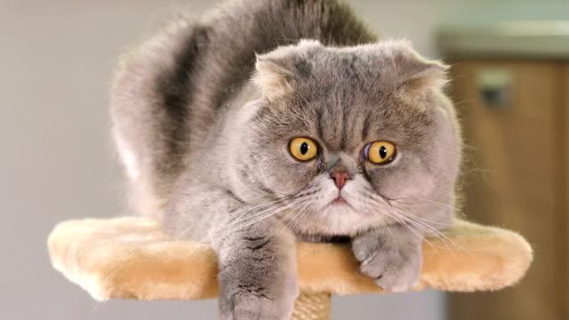 Purebred gray Scottish Fold cat video
