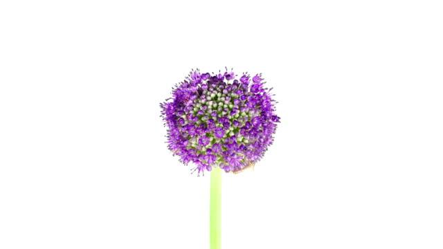 Purple Allium Flower; TIME LAPSE video