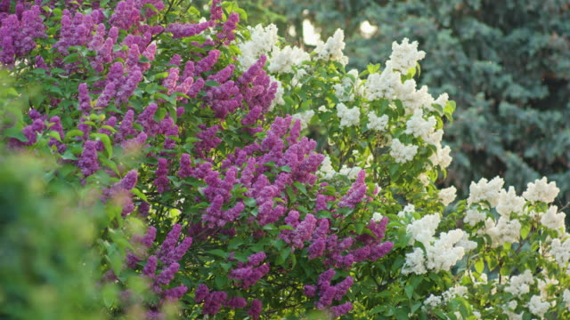 Purple and White Lilac Trees video