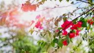 Purple Bougainvillea Flower Shaking by Wind in the Sunset video