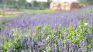 Purple celosia with garden, Shift focus HD VDO video