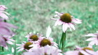 A purple cornflower plant with a white butterfly video
