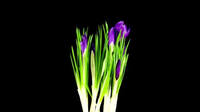Purple Crocus; TIME LAPSE video