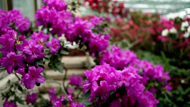 Purple Descent of Azalea Flowers in a Greenhouse on Background Wall of Many Flowers video