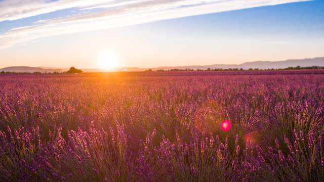 Purple fields of lavender at sunset in the summer time video