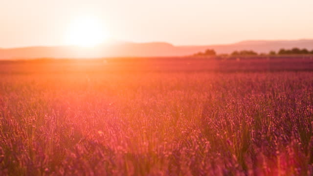 Purple fields of lavender at sunset video