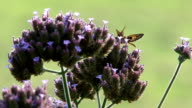 Purple flower and moth video