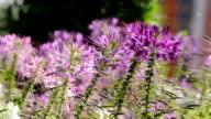 Purple flower video