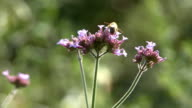 Purple flowers and bee video