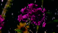 Purple flowers and falling drops of water at night. Super slow motion video, 500 fps video