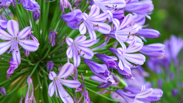 Purple flowers in close range video