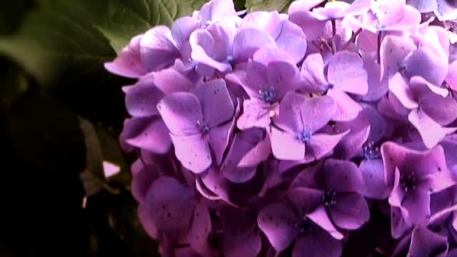 Purple Hydrangea in Full Bloom video
