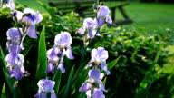 Purple Iris and Wooden Swing video