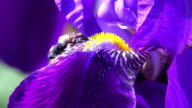 Purple Iris In Bloom - Close Up video