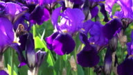 Purple Iris In Bloom video