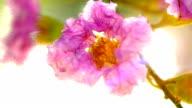 Purple Lagerstroemia flowers on green leaves video