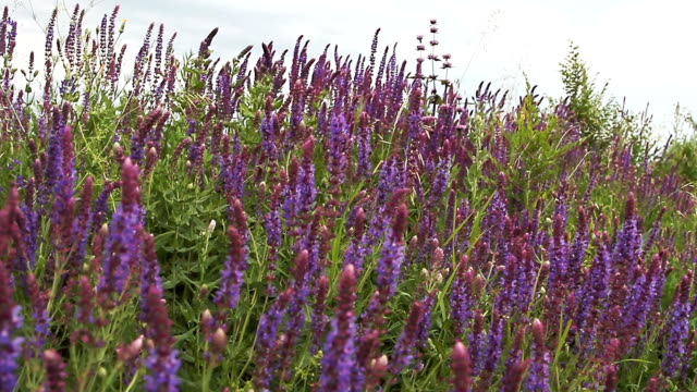 purple lavender flowers in the field video