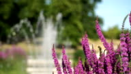 Purple loosestrife in the Italian Gardens, Kensington Gardens, London. video