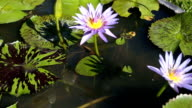 Purple lotus and green leaves in the pond with the wind blowing at public park. video