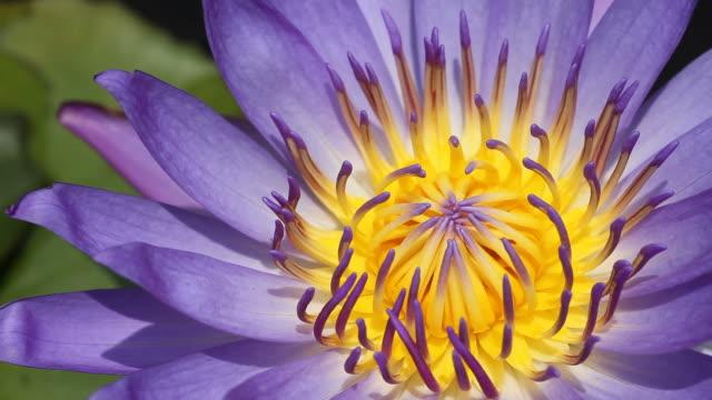 Purple lotus in gentle wind video