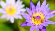 Purple lotus video