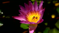 Purple lotus with a bee video