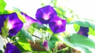 Purple morning glory blooming in morning sun. Herb plant video