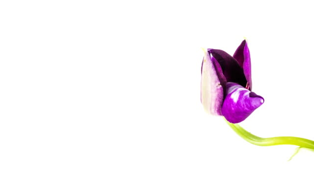 Purple Orchid Opening video
