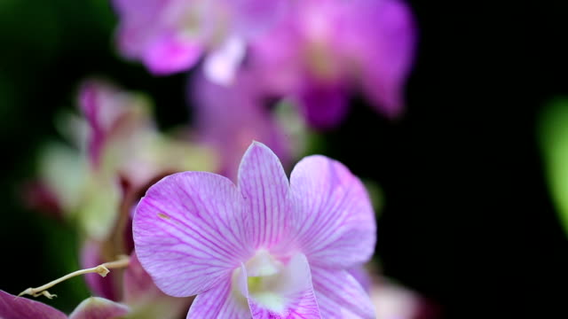 Purple orchid. video