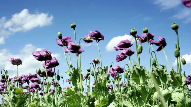 Purple Poppies video