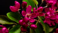 Purple Prince crabapple flower blooming in a time lapse video