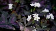 Purple Shamrock Flowers video